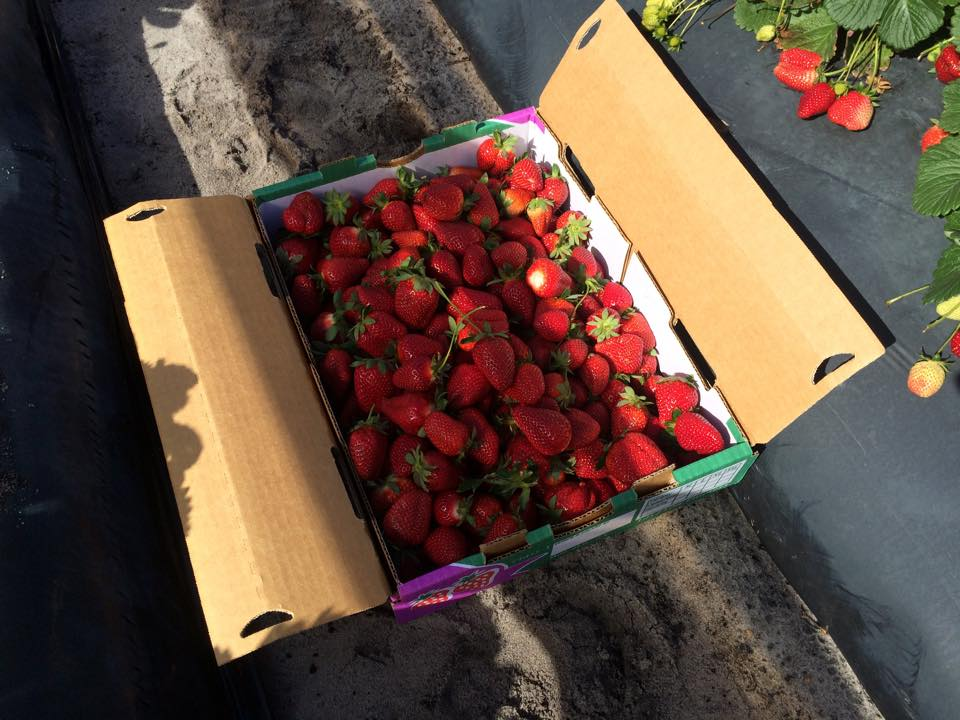 Strawberry Farm Bullsbrook
