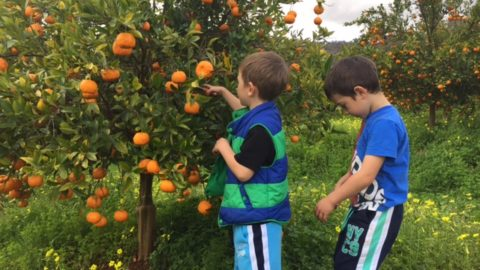 Golden Grove Citrus Orchard, Chittering Valley