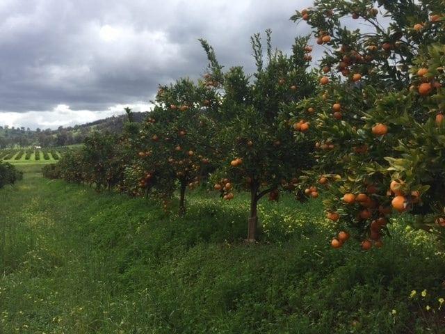 Golden Grove Citrus Orchard