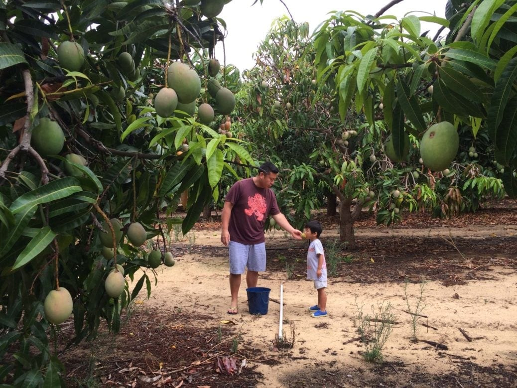 Perth Mango Farm Buggybuddys Trees Sale