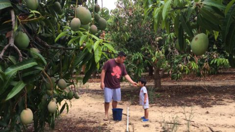 Perth Mango Farm