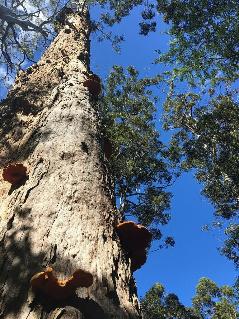 Gloucester Tree Pemberton