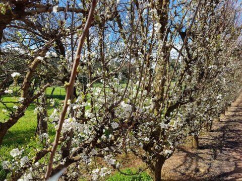 Blossom Season at S&R Orchard