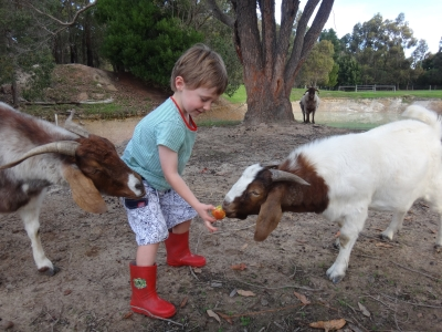 ollie_with_goats_small