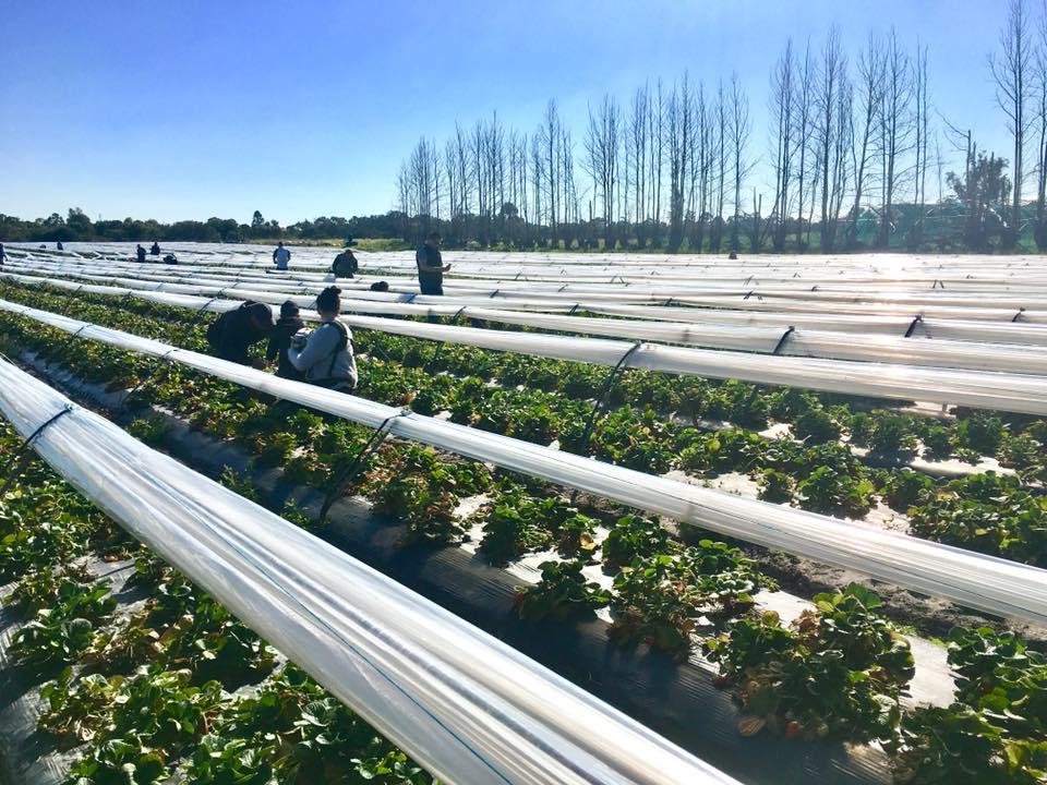Lena Strawberry Farm
