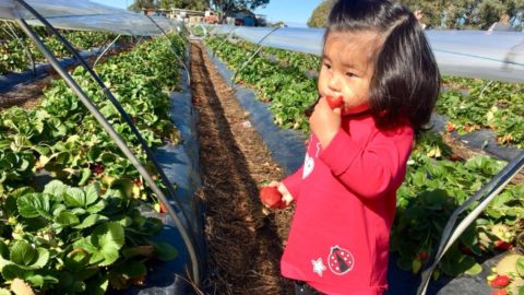 Lena Strawberry Farm, Anketell