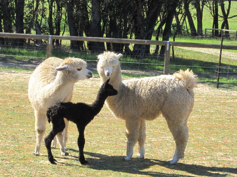 Cria-with-mother-and-brother