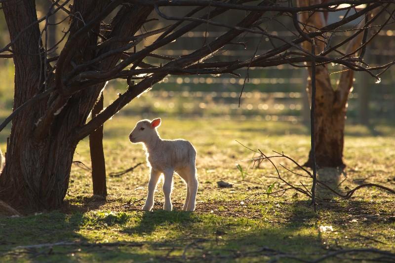 Sunrise-on-a-newborn-lamb-copy