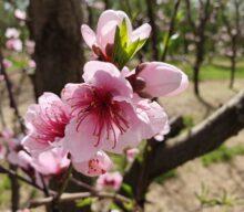 S&R Orchard Saku Blossom Festival