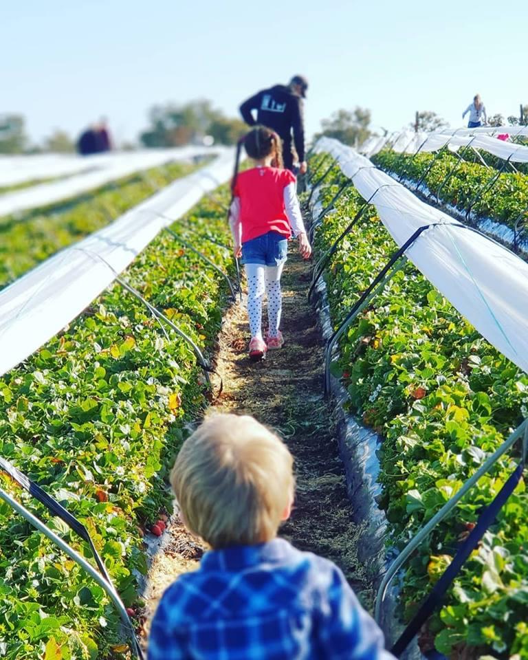 D'Uva's Strawberry Picking, Wanneroo